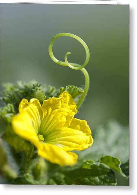 Melon Greeting Cards - Melon Flower Greeting Card by Angel Fitor