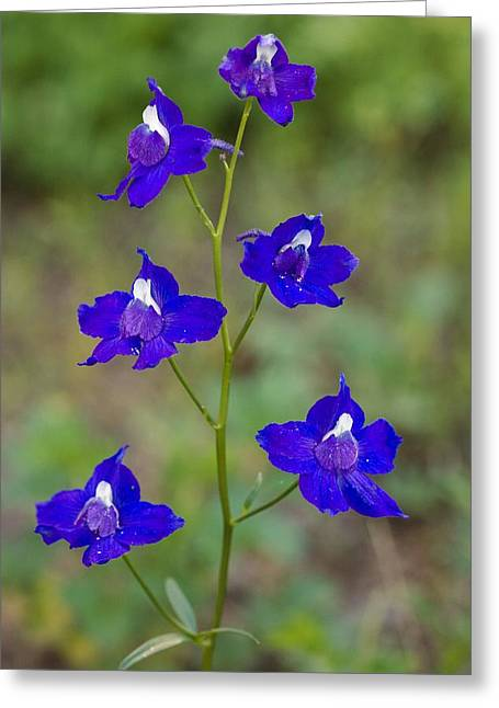 Larkspur Greeting Cards - Menzies Larkspur (delphinium Menziesii) Greeting Card by Bob Gibbons