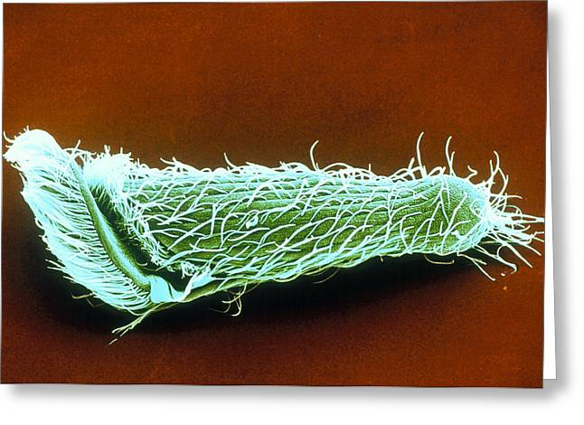 Single-celled Animal Greeting Cards - Metopus Protozoan Greeting Card by Volker Stegerchristian Bardele