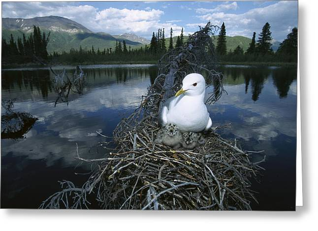 Us Open Photographs Greeting Cards - Mew Gull Larus Canus On Nest In Tree Greeting Card by Michael Quinton