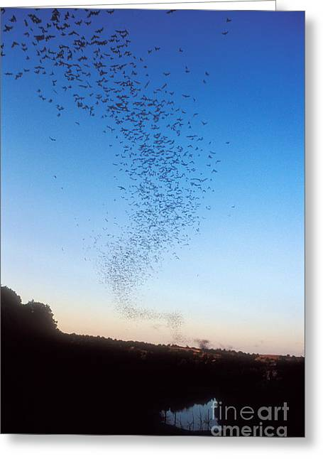 Flying Animal Greeting Cards - Mexican Freetail Bats Greeting Card by Dante Fenolio