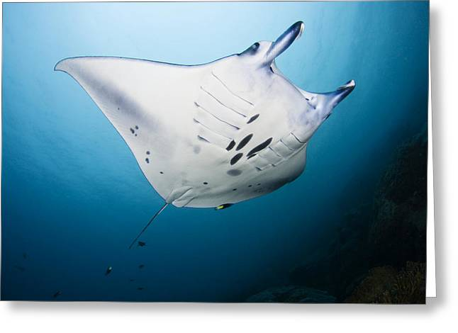 Yap Greeting Cards - Micronesia Manta Ray Greeting Card by Dave Fleetham - Printscapes