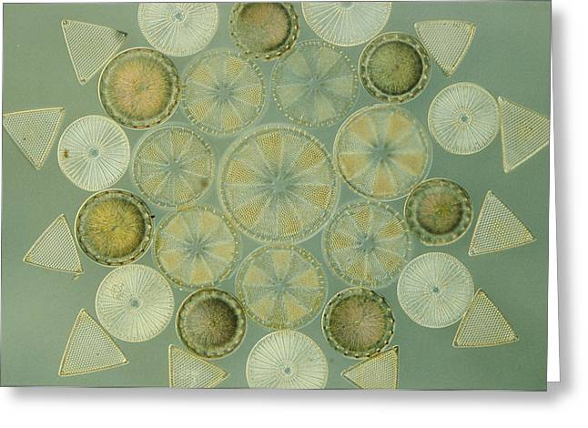 Best Sellers -  - Diatoms Greeting Cards - Microscopic Arrangement Greeting Card by Darlyne A. Murawski