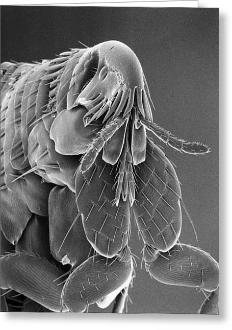 Microscopic Entities Greeting Cards - Microscopic View Of A Cat Flea Greeting Card by Darlyne A. Murawski
