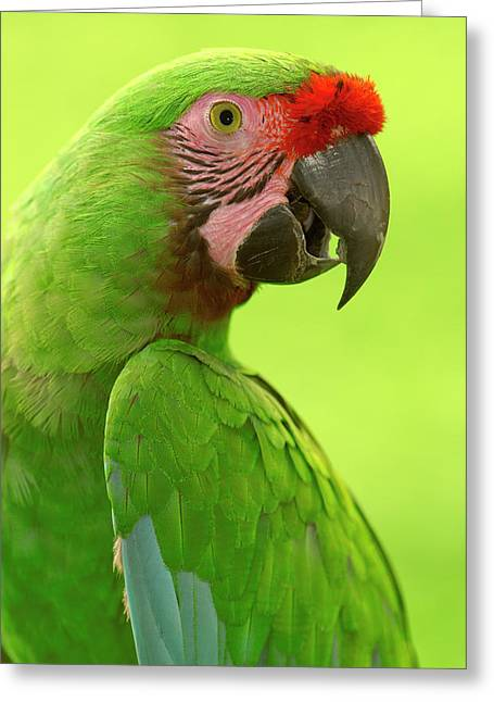 Macaw Profile Greeting Cards - Military Macaw Ara Militaris Portrait Greeting Card by Pete Oxford