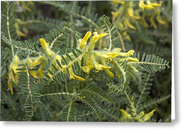 Vetch Greeting Cards - Milk-vetch (astragalus Drupaceus) Greeting Card by Bob Gibbons