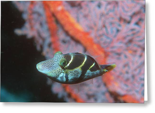 Mimic Greeting Cards - Mimic Filefish Greeting Card by Georgette Douwma