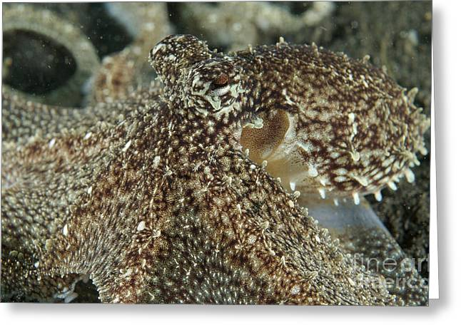 Cephalopod Greeting Cards - Mimic Octopus Head, North Sulawesi Greeting Card by Mathieu Meur