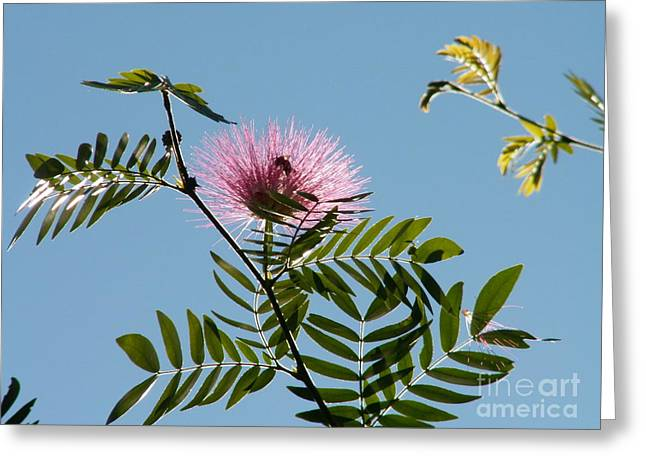 Mimosa Flower  Greeting Card by Theresa Willingham
