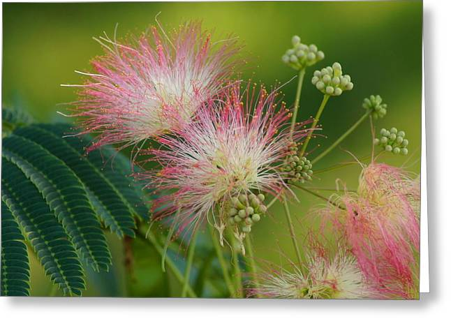 Mimosa Flowers Greeting Cards - Mimosa  Up Close Greeting Card by Bj Hodges