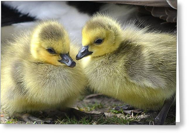 Ducklings Photographs Greeting Cards - Mini Quackers Greeting Card by Fraida Gutovich