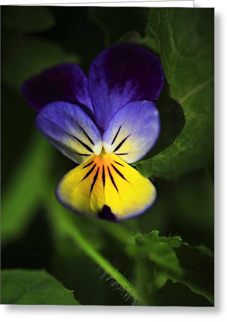 Johnny Jump Up Pansy Greeting Cards - Miniature Pansie Greeting Card by Marilyn Hunt