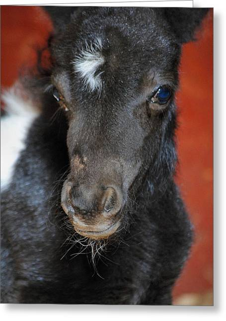 Oreo Photographs Greeting Cards - Miniature Pony Portrait Greeting Card by Jai Johnson