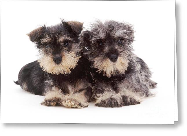 Cute Schnauzer Greeting Cards - Miniature Schnauzers Greeting Card by Jane Burton