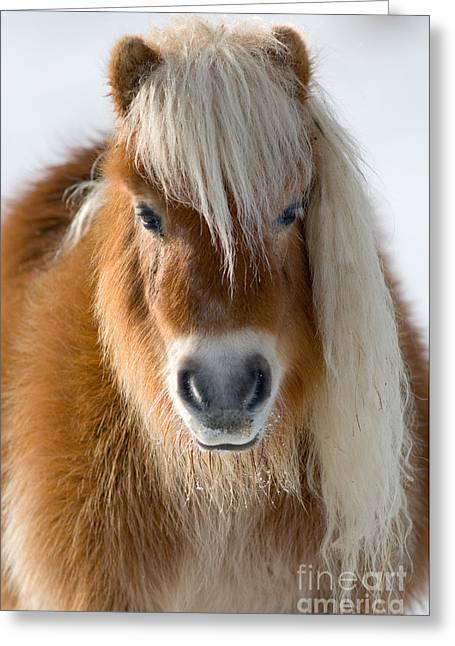 Miniature Photographs Greeting Cards - Miniature Shetland Pony Greeting Card by Mark Bowler and Photo Researchers