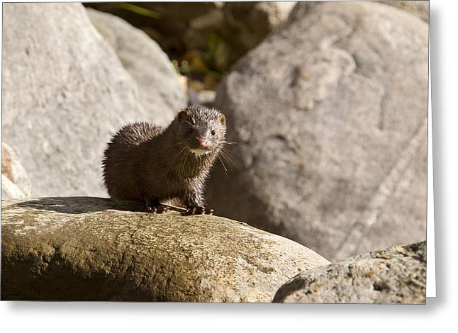 Mink Greeting Cards - Mink amongst the rocks Greeting Card by Mark Duffy