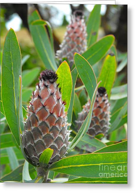 African Flower Greeting Cards - Mink Protea Flower Greeting Card by Rebecca Margraf