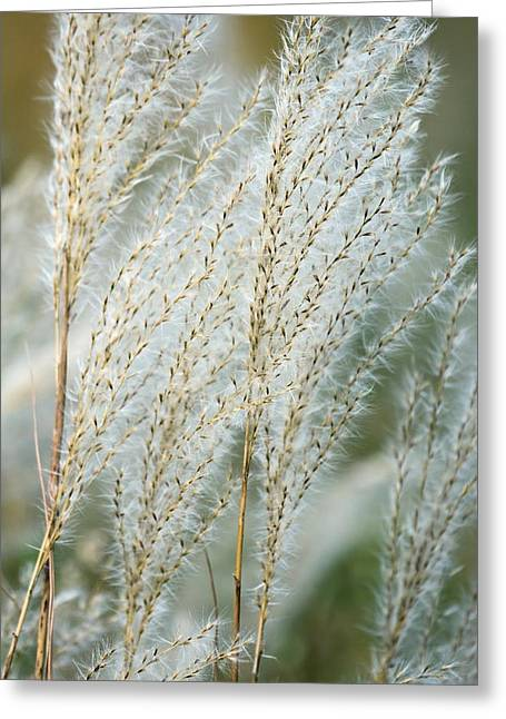Seedhead Greeting Cards - Miscanthus Sacchariflorus Greeting Card by Dr. Nick Kurzenko