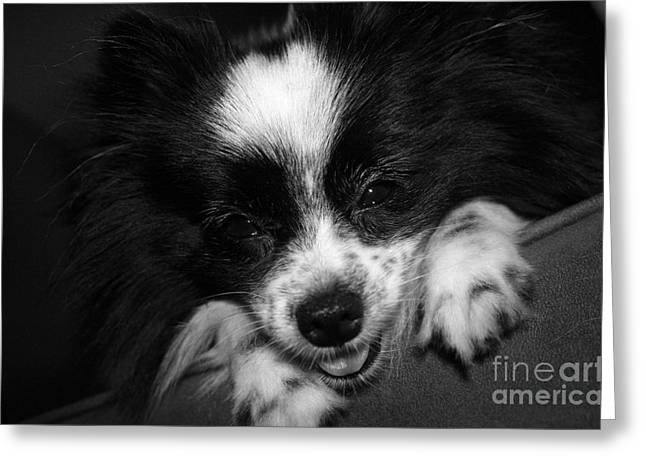 Toy Dog Greeting Cards - Miss Gypsy Greeting Card by Kelly Holm