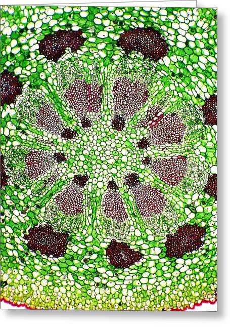 Vascular Bundle Greeting Cards - Mistletoe Stem, Lm Greeting Card by Dr Keith Wheeler