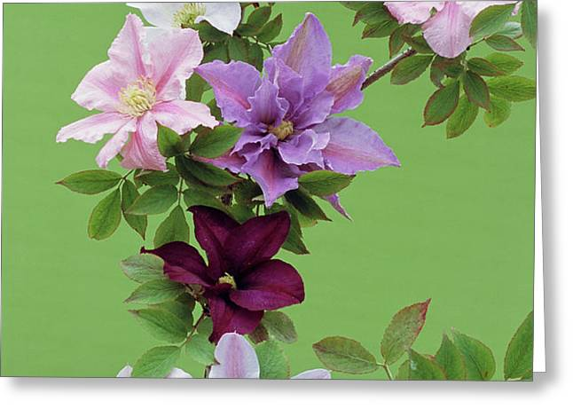 Mixed Clematis Flowers Greeting Card by Archie Young