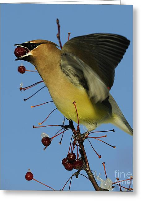 Cedar Waxwing Greeting Cards - Mmm... Berry Sorbet.. Greeting Card by Nina Stavlund