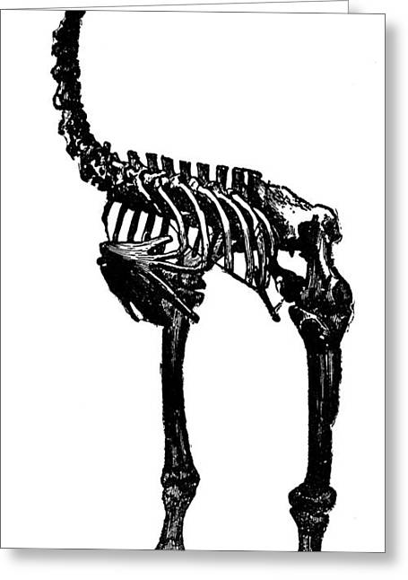 Moa Greeting Cards - Moa Skeleton Greeting Card by Granger