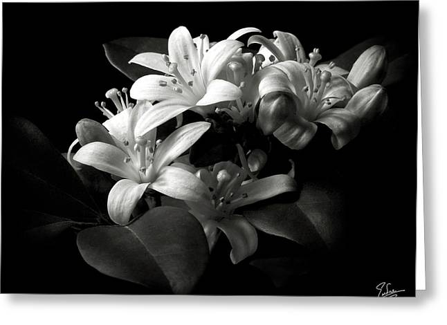 Flower Photos Greeting Cards - Mock Orange in Black and White Greeting Card by Endre Balogh
