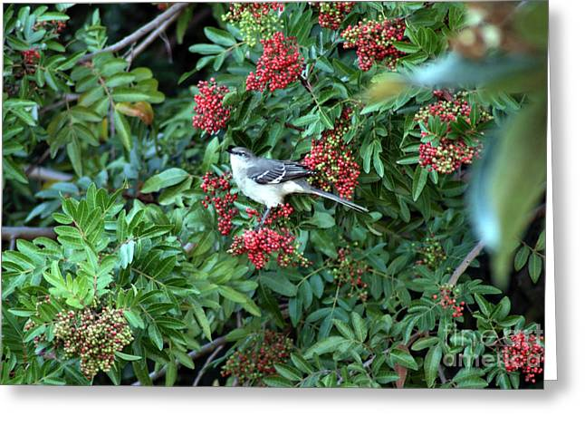 Mocking Bird Greeting Card by Virginia Hagerty