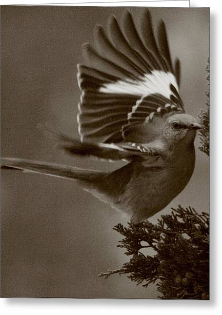 Mockingbird Greeting Cards - Mockingbird In A Pine Greeting Card by Christopher Kirby