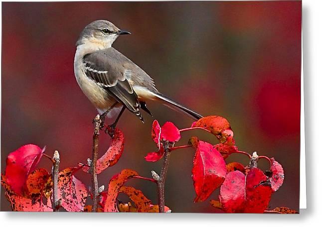 Mockingbird Greeting Cards - Mockingbird on Red Greeting Card by William Jobes