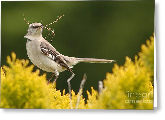 Mockingbird Greeting Cards - Mockingbird Perched With Nesting Material Greeting Card by Max Allen