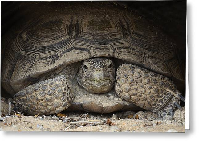 Protected Species Greeting Cards - Mojave Desert Tortoise Greeting Card by Bob Christopher