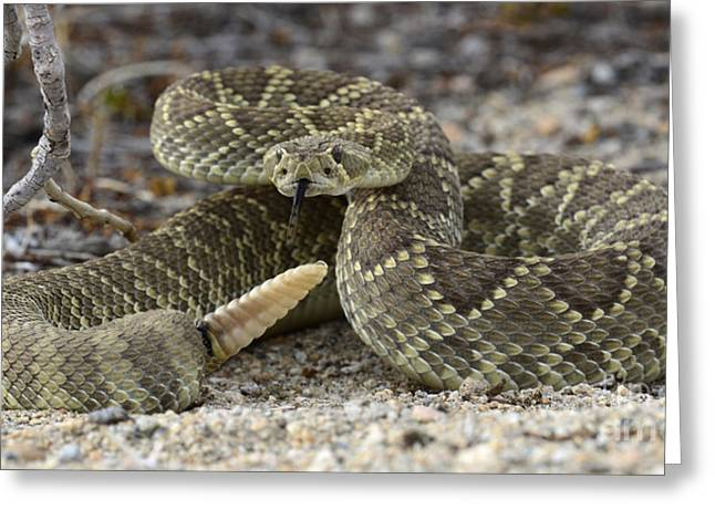 Rattlers Greeting Cards - Mojave Green Rattlesnake  Greeting Card by Bob Christopher