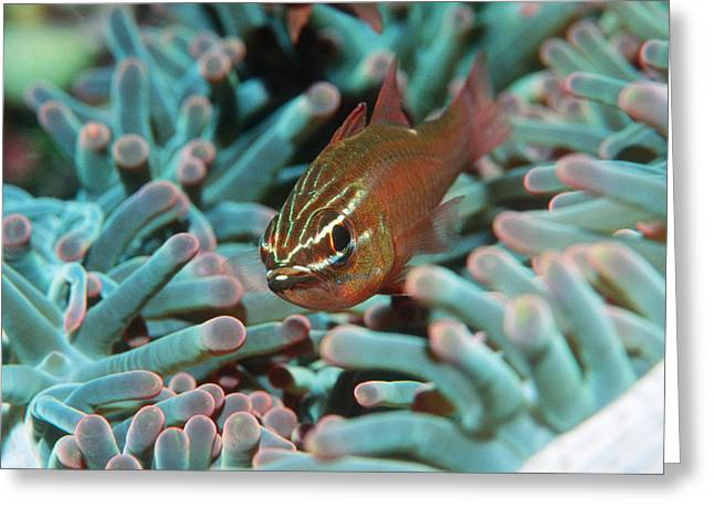 Sulawesi Greeting Cards - Moluccan Cardinalfish Greeting Card by Georgette Douwma