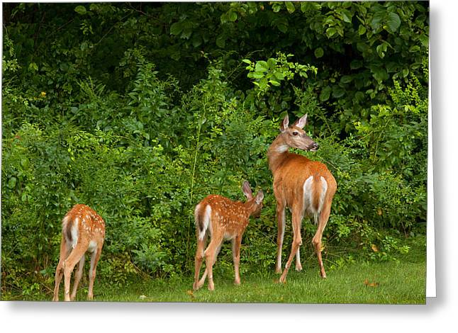Backyard Wildlife Greeting Cards - Mom and Two Greeting Card by Karol  Livote
