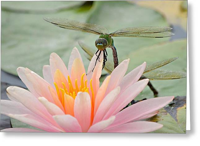 Green Darner Dragonflies Greeting Cards - Momentary Rest Greeting Card by Fraida Gutovich