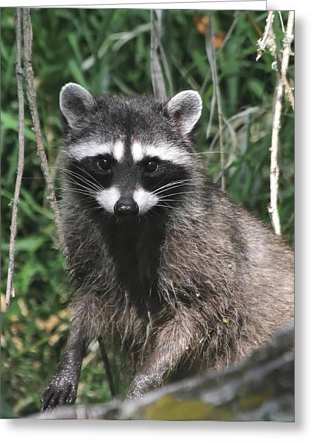 Wildlife Refuge. Greeting Cards - Momma Raccoon Greeting Card by Angie Vogel