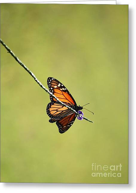 Sunlight On Flowers Greeting Cards - Monarch and Natural Green Canvas Greeting Card by Carol Groenen