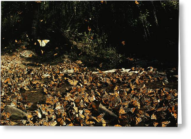 Monarch Butterflies Draw Water, A Sign Greeting Card by Bianca Lavies
