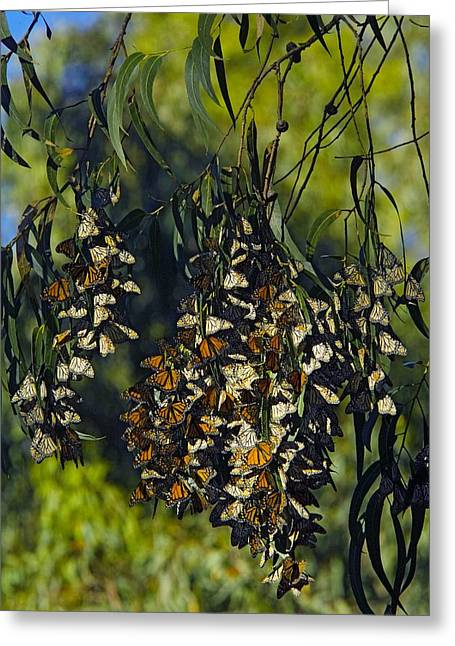 Danaus Plexippus Greeting Cards - Monarch Butterflies Overwintering In Tree Greeting Card by Bob Gibbons