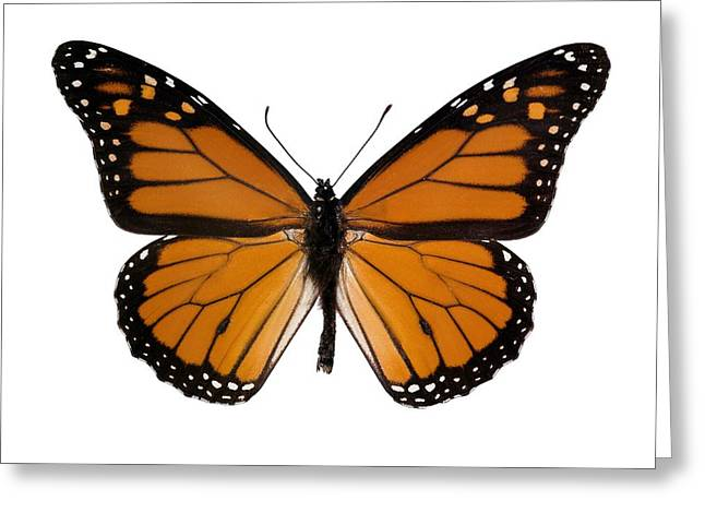 Danaus Plexippus Greeting Cards - Monarch Butterfly Greeting Card by Dr Keith Wheeler