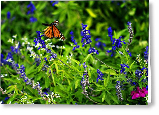 Butterfly In Flight Greeting Cards - Monarch Butterfly in Flight Greeting Card by Douglas Barnard