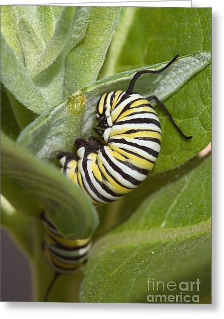 Lifecycle Greeting Cards - Monarch Butterfly Larva Greeting Card by Ted Kinsman