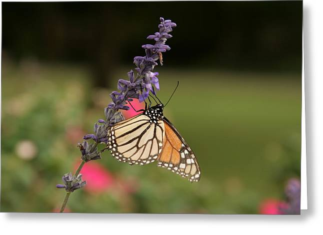 Butterfly On Lavender Greeting Cards - Monarch Butterfly on Lavender Bush Greeting Card by Douglas Barnard