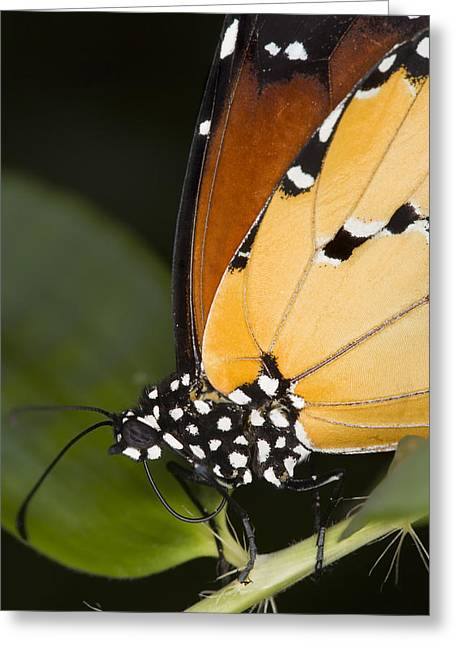 Danaus Plexippus Greeting Cards - Monarch Butterfly Greeting Card by Power And Syred