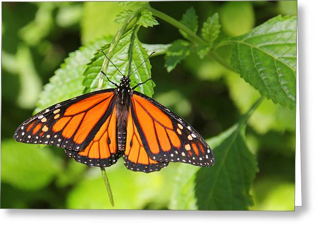 Morph Greeting Cards - Monarch Butterfly Greeting Card by Rosalie Scanlon