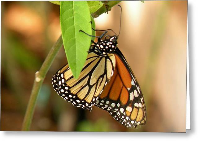 Morph Greeting Cards - Monarch Butterfly Side View Greeting Card by Rosalie Scanlon