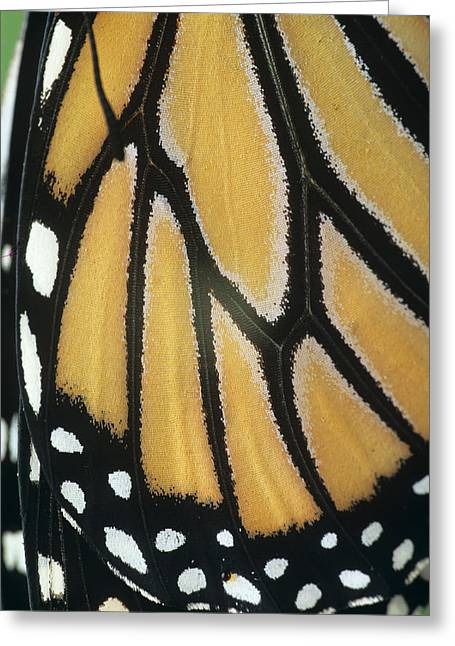 Danaus Plexippus Greeting Cards - Monarch Butterfly Wing Detail Greeting Card by David Aubrey