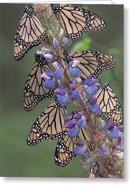 Animals And Insects Greeting Cards - Monarch Danaus Plexippus Butterflies Greeting Card by Tim Fitzharris
